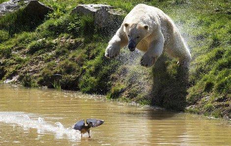 Medvěd Felix si mlsně vyhlíží kořist...Hop! Přišel čas zaútočit...