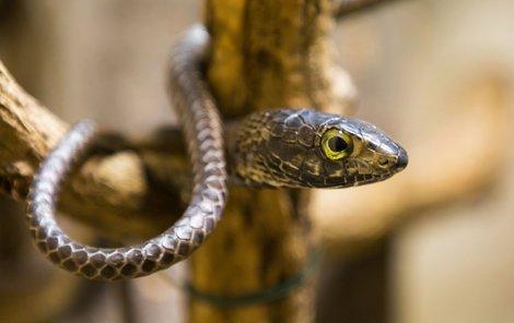 Dospělá bojga je dlouhá kolem 120 centimetrů s tloušťkou těla kolem dvou centimetrů.