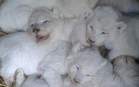 To jsou oni. Vzácná bílá lvíčata přišla na svět 4. května v Zoo Dvorec u Českých Budějovic. Zatím připomínají jen plyšové klubko, které si lvice bedlivě střeží.
