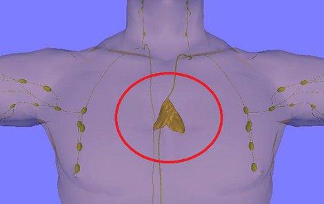 Umístění nefunkčního brzlíku v těle dospělého člověka.