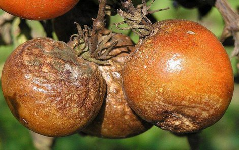 Plíseň bramborová