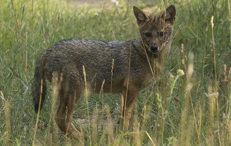 První zdokumentovaný šakal narozený v české přírodě.