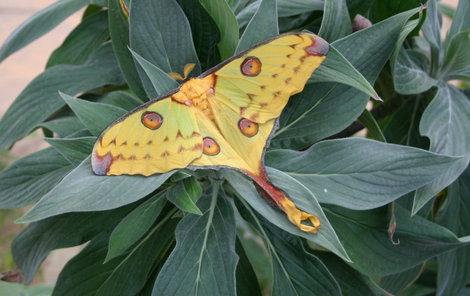 Vzácnost v botanické v Tróji: Kometový motýl