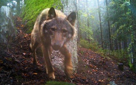 Fotopast potvrdila přítomnost vlka na Šumavě.