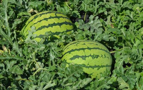 Na zahradě sklízí 15 druhů melounů.  Některé pochází až z Jamajky