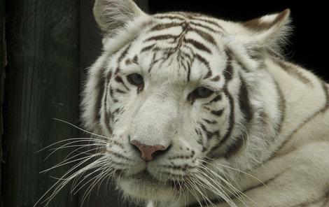 Liberec- Bílí tygři