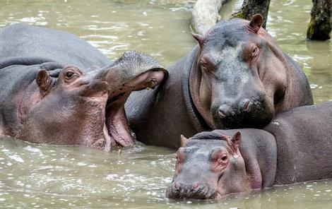 Nový samec měl dvorské zoo pomoci s obnovou chovu hrochů, jedna ze samic ho ale zranila a Karl Wilhelm zemřel na otravu krve