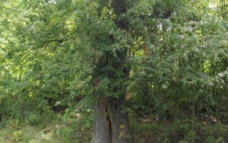 29metrová lípa byla v evidenci památných stromů 14 let.