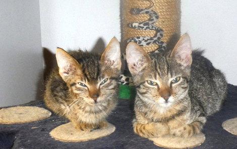 Kočičky jsou očkované, kastrované a naprosto čistotné.