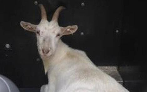 Tuto kozu strážníci zachránili!