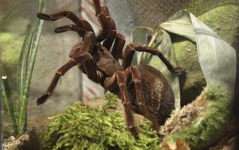 Je to jeden z největších pavouků na světě. V těle dorůstá délky až 15 cm a v rozpětí nohou až 30 cm a vážit může až 250 g. Některé samice se dožívají až 30 let. Domovinou jsou Guayana a Brazílie. Staví si hluboké nory, které fungují jako klimatizace.
