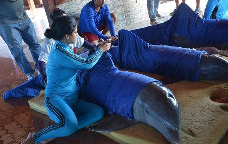 Delfíni zabaleni mokrých ručníků do a naloženi do helikoptéry.