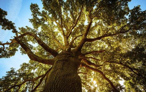Staré stromy zákon »neporazí« ...
