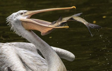 Pořádnou rybu pelikán uniknout nenechal.