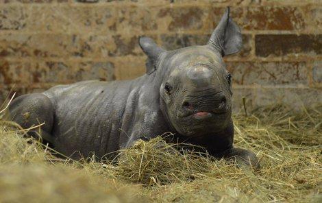 Mládě s mámou Etoshou zachraňuje populaci druhu, ještě v roce 1900 žilo v Africe asi 100 tisíc nosorožců dvourohých, nyní jich je kvůli pytlákům jen asi sedm stovek, v královéhradecké zoo pak 20.