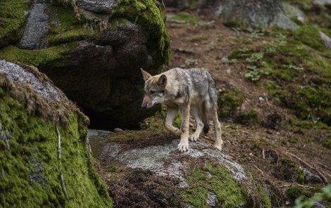 Vlk ze Srní. Ve výběhu odděluje vlky od volné přírody třímetrový plot a ohradník.