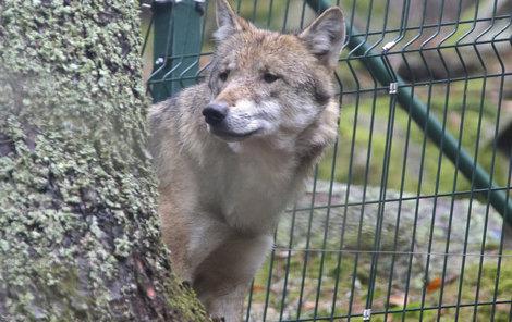 Vlci na Šumavě jsou od volné přírody odděleni třímetrovým plotem a ohradníkem.