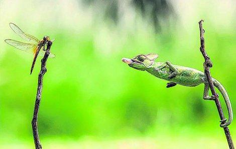 Chameleon se zaměří na svoji oběť. Natáhne se, sjednotí se mu pohledy obou očí a připraví si jazyk.