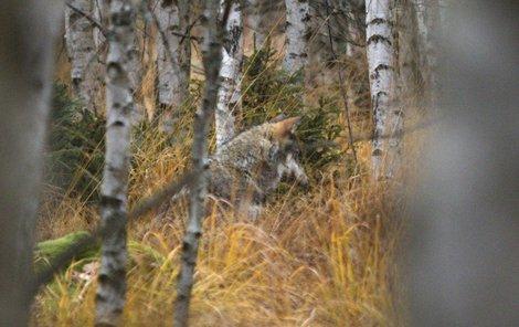 Jiřímu Kučerovi z Modravy se podařil unikátní fotografický kousek. Vyfotil volně žijící vlky čtyři kilometry od Modravy.