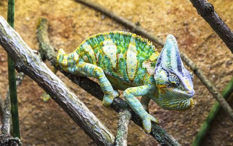 Vzácný chameleon má cenu několik desítek tisíc korun.