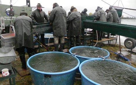 Výlov rybníka Vrkoč u Pohořelic přilákal v sobotu ráno stovky diváků. Celkem zamííří do sádek na 250 tun ryb, převažuje kapr.