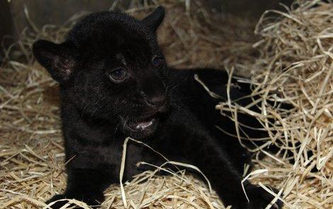 Narodil se černý panter!