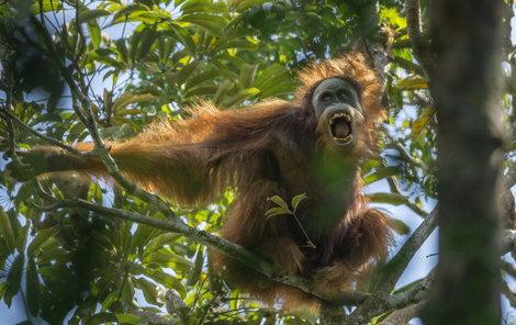 Oproti ostatním druhům má lehce odlišný tvar lebky a zubů a světlejší srst.