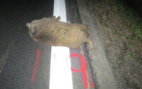 Mrtvá prasata si odvezli myslivci.