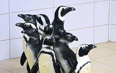 Tučňáky brýlové jiná česká zoo nechová.