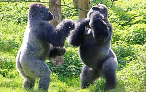 Kivu (vpravo) si hájí své dobroty před bráchou Kiondem.