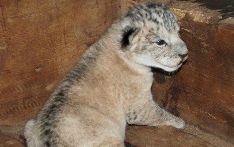 Lev berberský má svůj původ v Maroku.