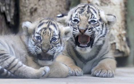 Dvě mláďata ohroženého tygra malajského uvidí návštěvníci pražské zoo poprvé zítra.