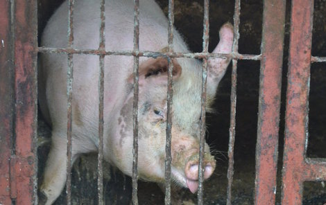 Bobika měl chovatel zavřeného v chlívku.