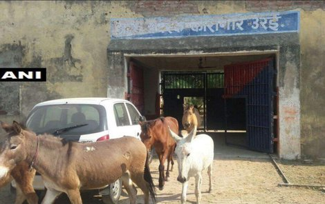 Propuštění oslů z vězení Uttar Pradesh