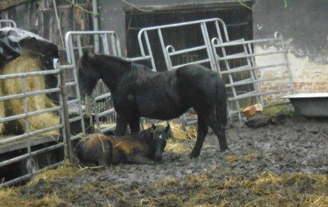 Koně byli celý den v malém výběhu, kde se bořili do bahna.