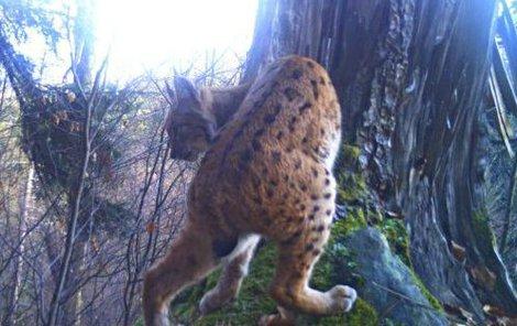 Rysa ostrovida zachytila fotopast. Zda se v Krušných horách zabydlí natrvalo, ukáže až zimní monitoring.