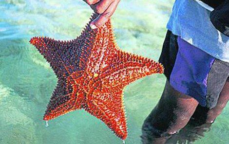 Hvězdice je oblíbeným suvenýrem evropských turistů, za tenhle krásný kousek dáte i sto dolarů.