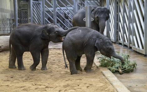 O stromky se malí sloni doslova přetahovali. Brácho, že tě chytnu za ocas?