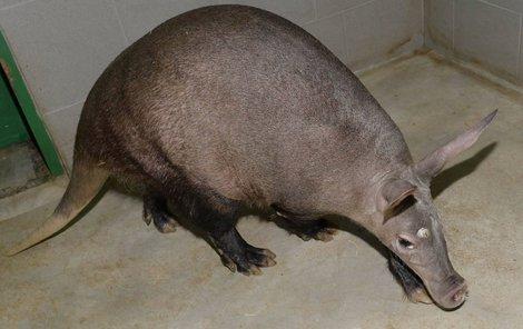 Hrabáč kapský z olomoucké zoo.
