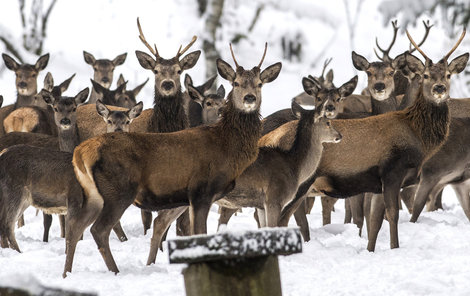 V oboře Lysečiny si stádo užívá mírnou a na dobroty hojnou zimu.