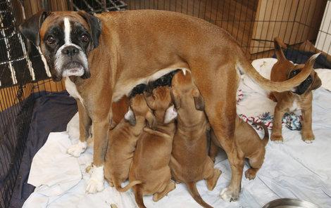 I když už štěňata dostávají stravu do misky, sotva se máma objeví, vrhnou se nesmlouvavě na ni.