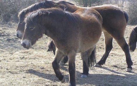 Divocí koně jsou odolní, nepotřebují péči člověka.