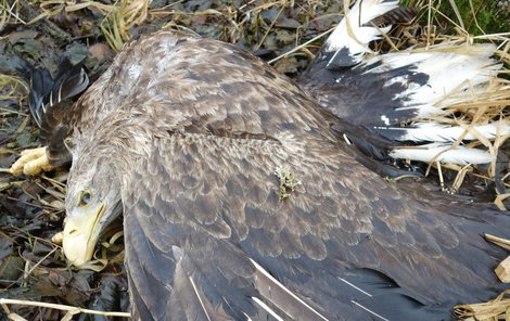 Návnadou už zabil ohroženého orla mořského a lišku obecnou u obce Matná.