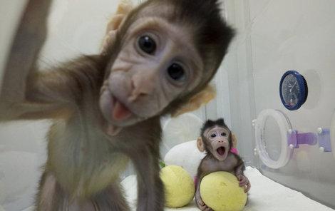 Číňané namnožili ve zkumavce roztomilé makaky.