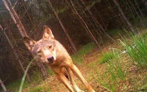 Vlci se objevili v Lužických horách.