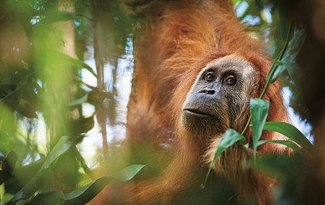 Počet jedinců orangutana tapanulijského je odhadován na 800.