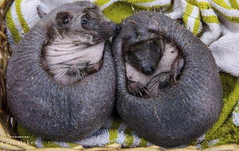 Plešatí ježečci jsou ztělesněním roztomilosti.