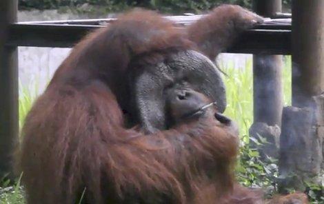 Orangutaní samec Bandun (22) si rád zakouří