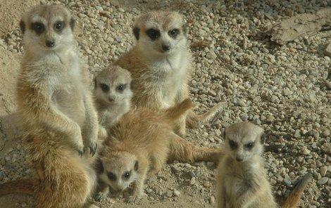 Otevřený výběh pro surikaty imituje jejich africkou domovinu.