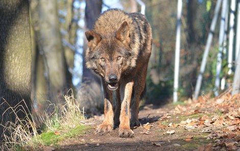 Samice Beret (7) vlka iberského